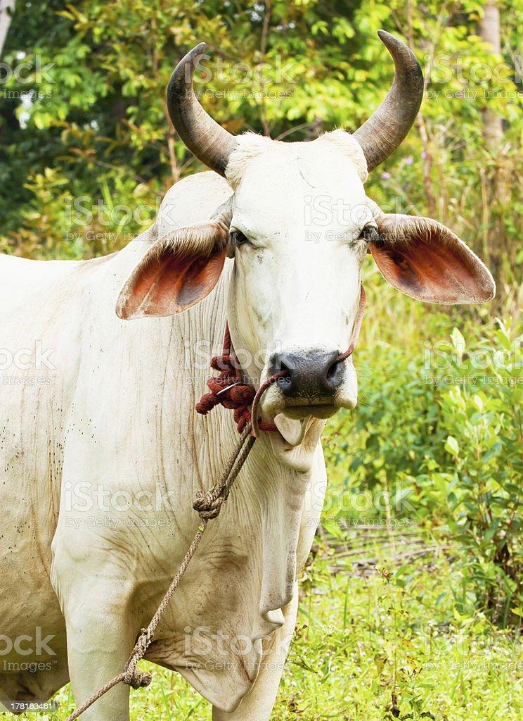 Ox in a garden royalty-free stock photo