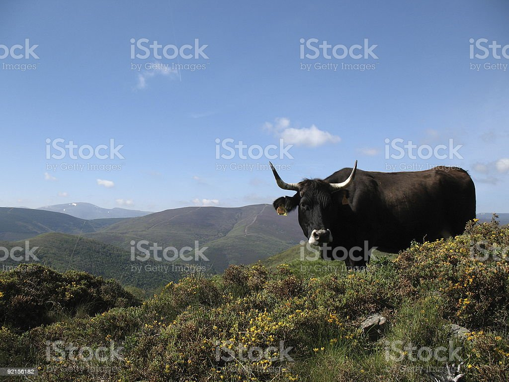 Ox in Mountains royalty-free stock photo