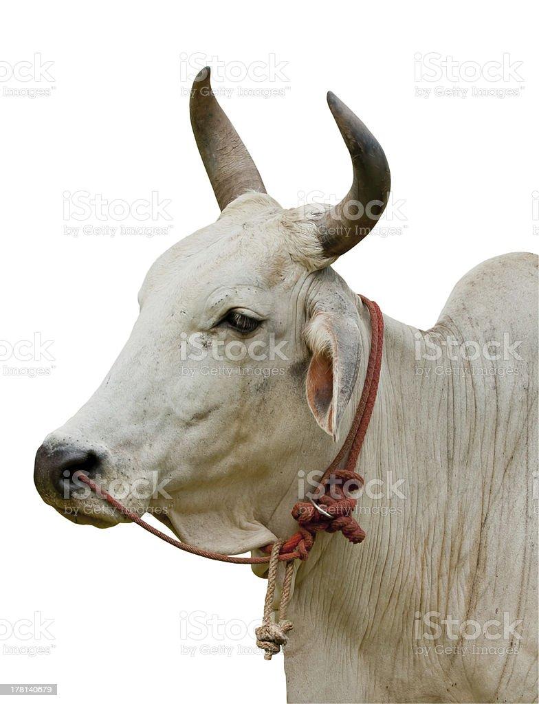 Ox isolate royalty-free stock photo
