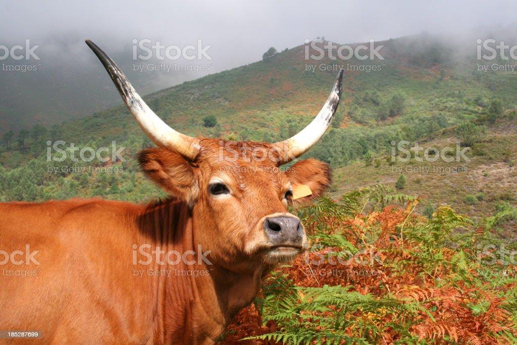 Ox portrait royalty-free stock photo
