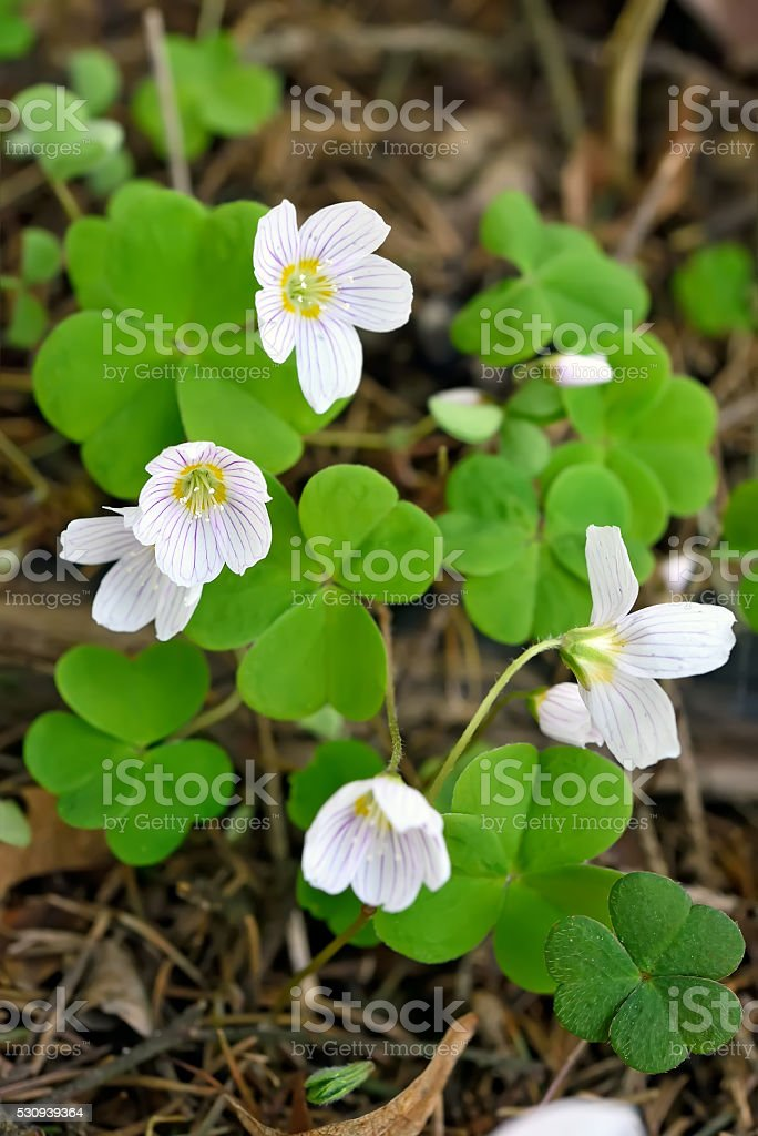 Oxalis acetosella flowers stock photo
