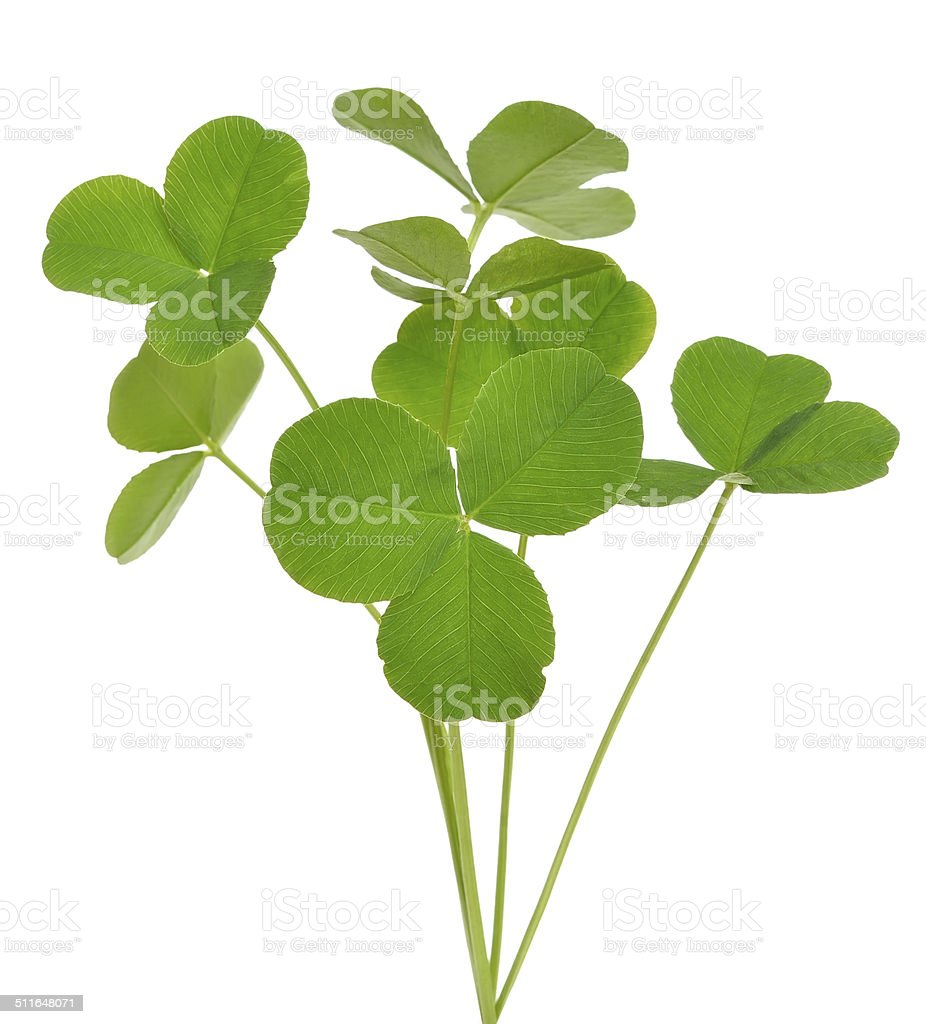 Oxalis acetosella (wood sorrel) plant stock photo