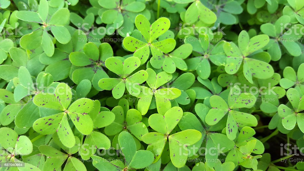 oxalis clover on bottom - fresh green group stock photo