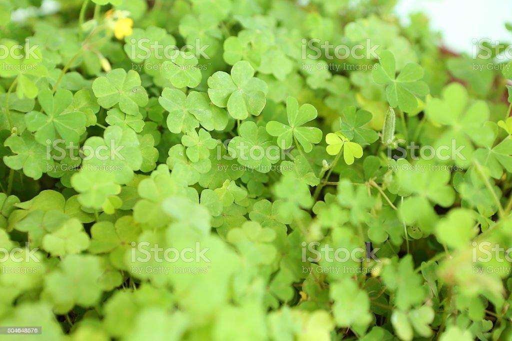 Oxalis Corniculata L stock photo