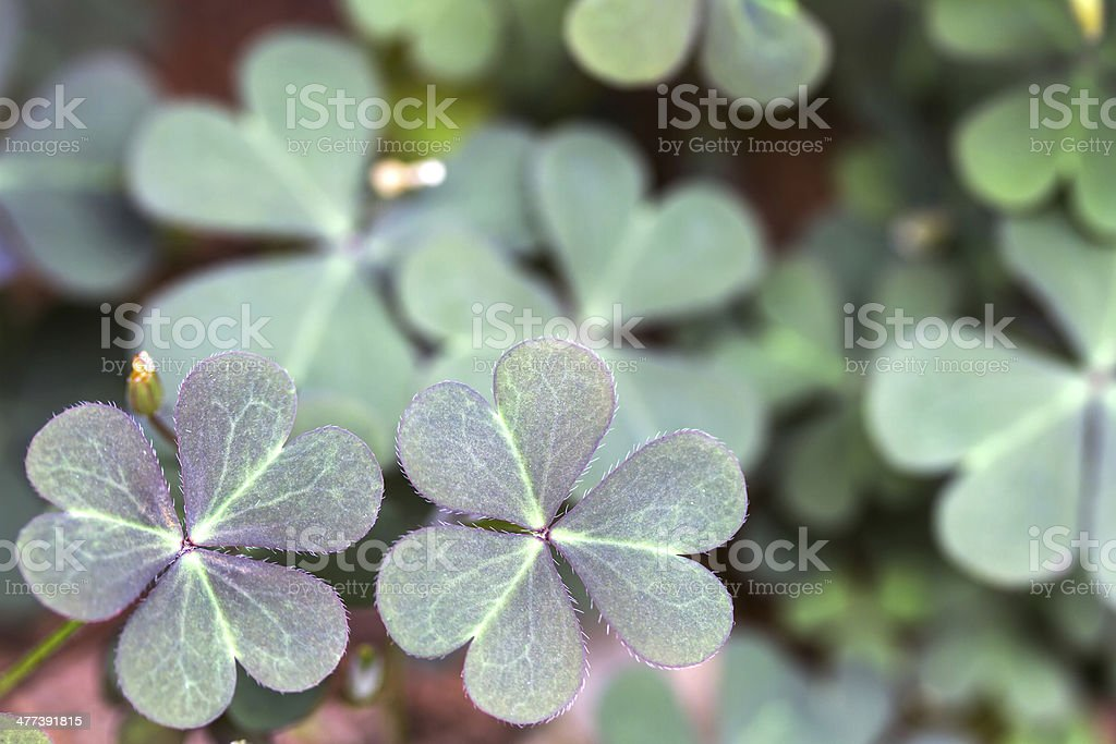 Oxalis corniculata leaves in the garden stock photo