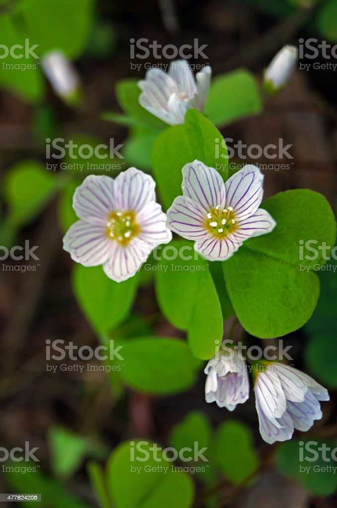oxalis early spring stock photo