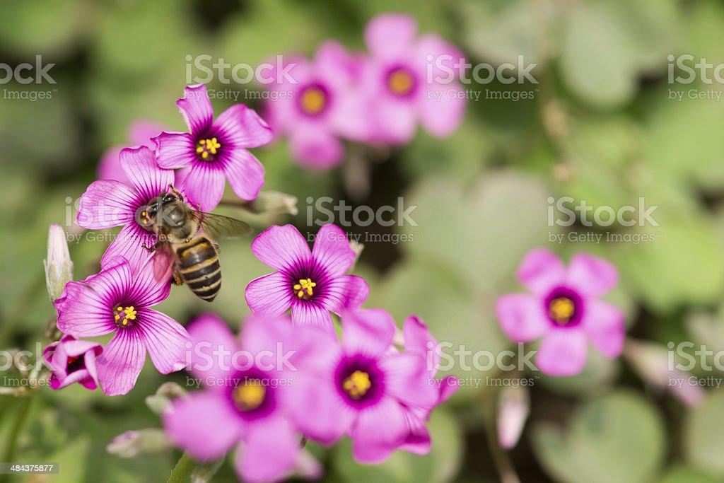 oxalis flower and bee stock photo