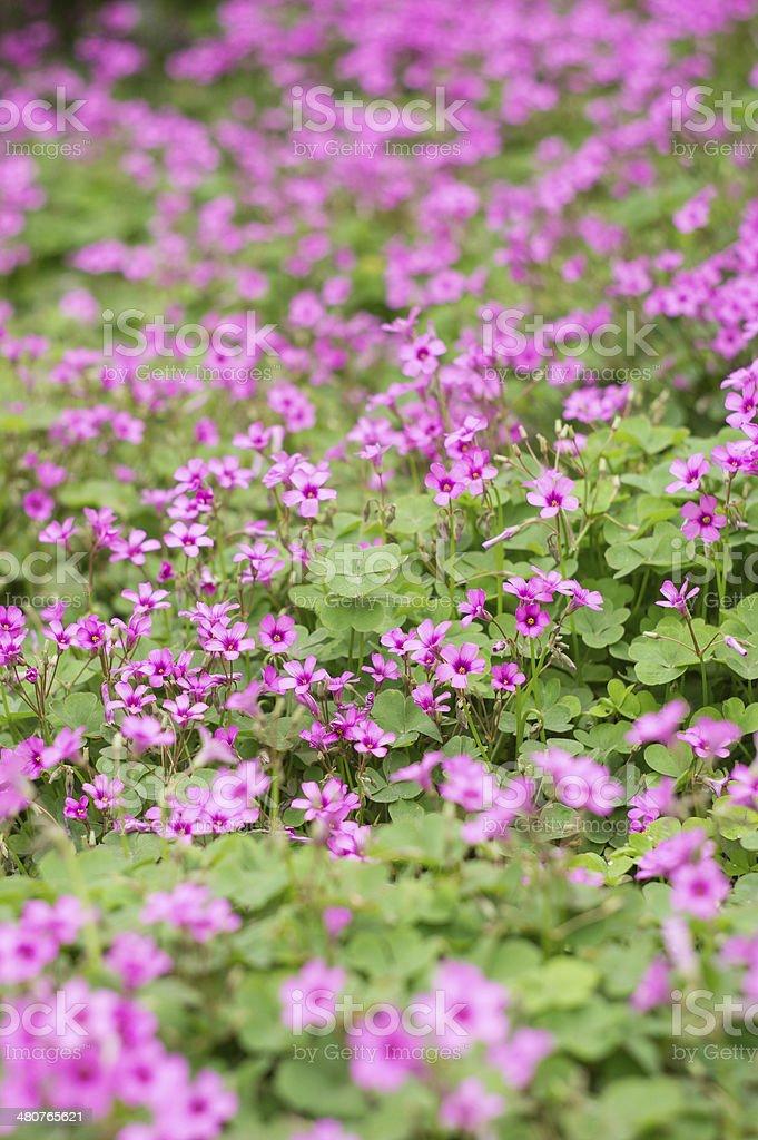 oxalis flower stock photo