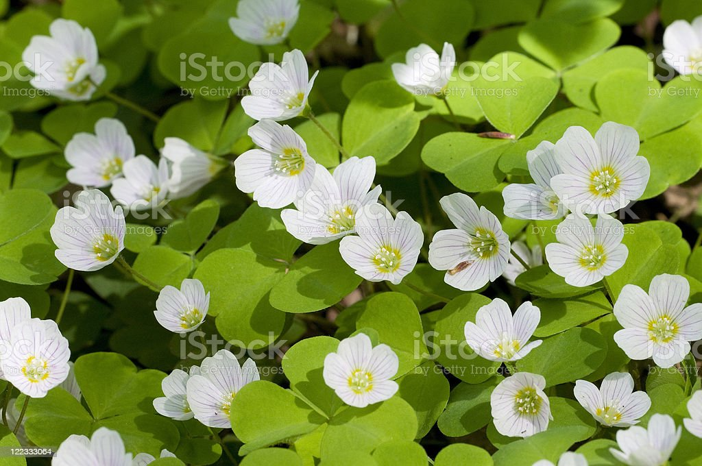 oxalis flowers stock photo