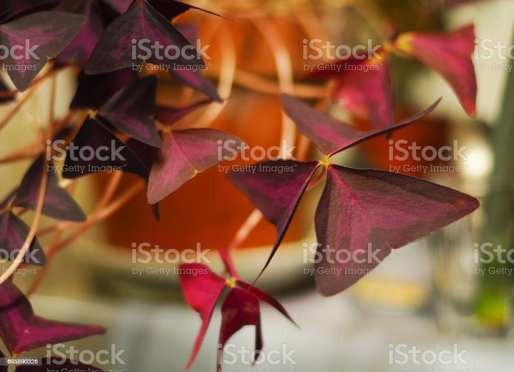 Oxalis Leaves Opening stock photo