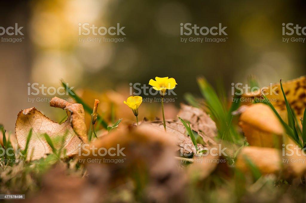 Oxalis rubra (Blume) zwischen Herbstlaub stock photo