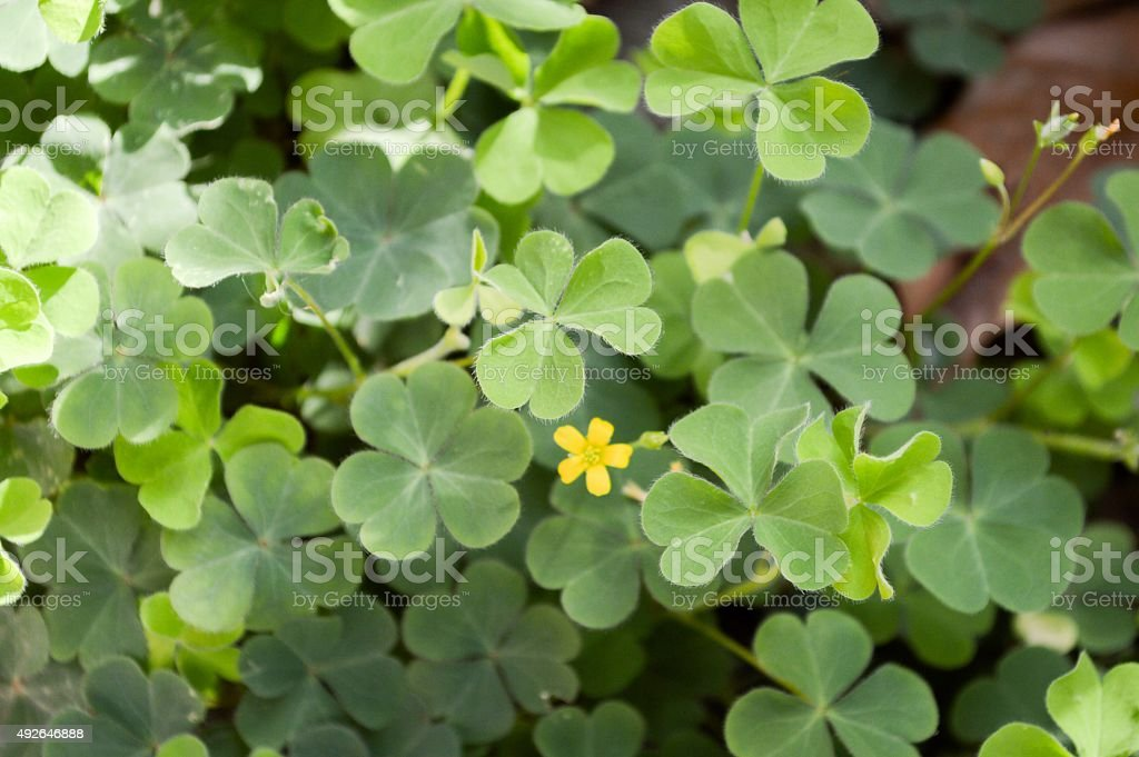 Oxalis tree stock photo