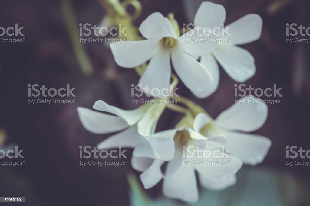Oxalis triangularis. Purple shamrock. stock photo