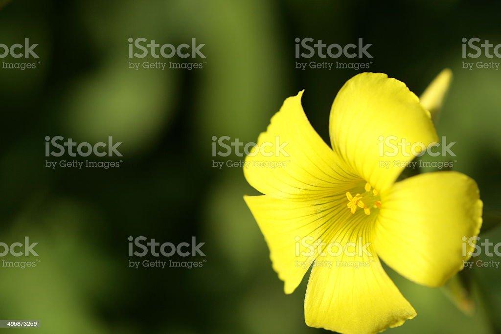 Oxalis versicolor stock photo