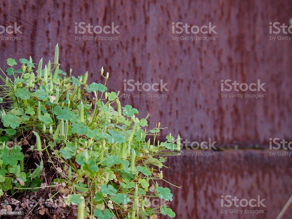 Oxalis , which has grown from between the rusty iron plate stock photo