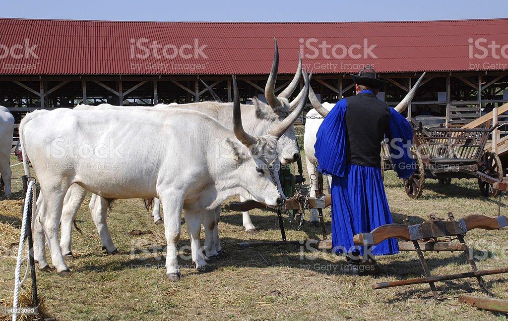 oxen and shepherd stock photo