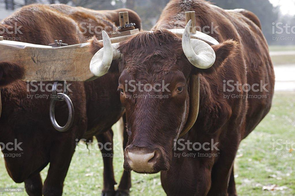 Oxen and Yoke stock photo