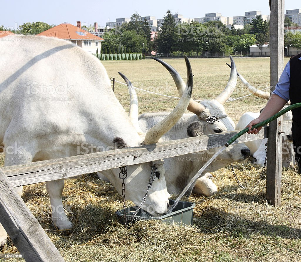 oxen are drinking stock photo