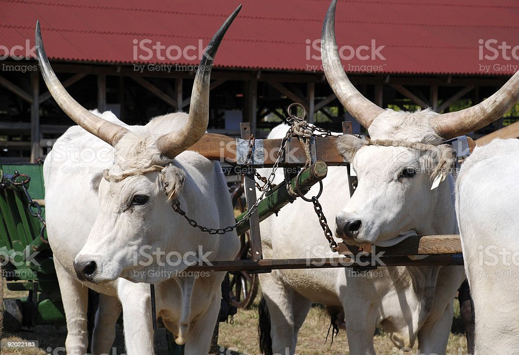 oxen in the oxbow stock photo