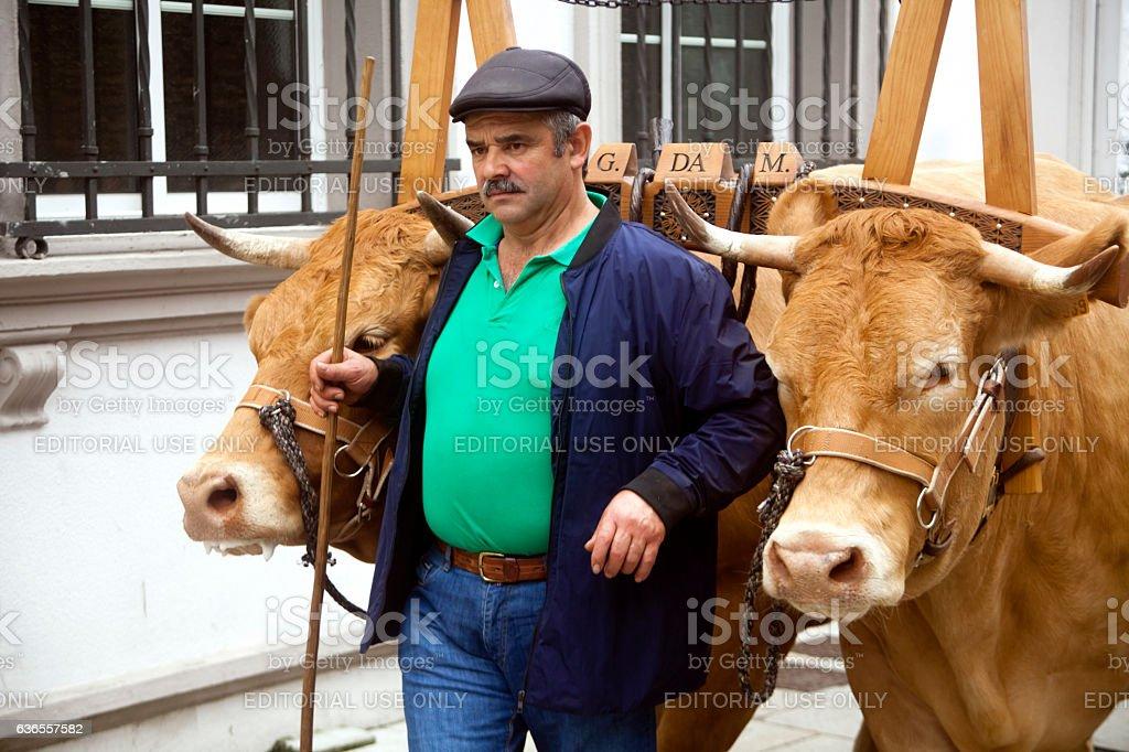 Oxen, livestock yoke and farmer during a street parade. stock photo