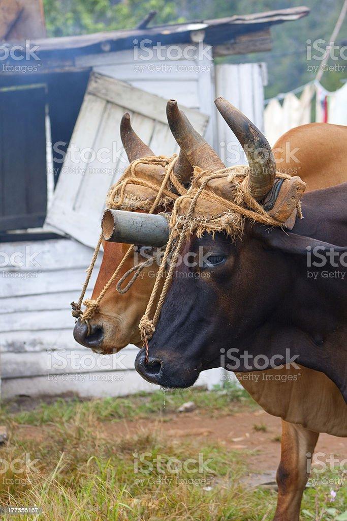Oxen on a Tobacco Farm, Cuba stock photo