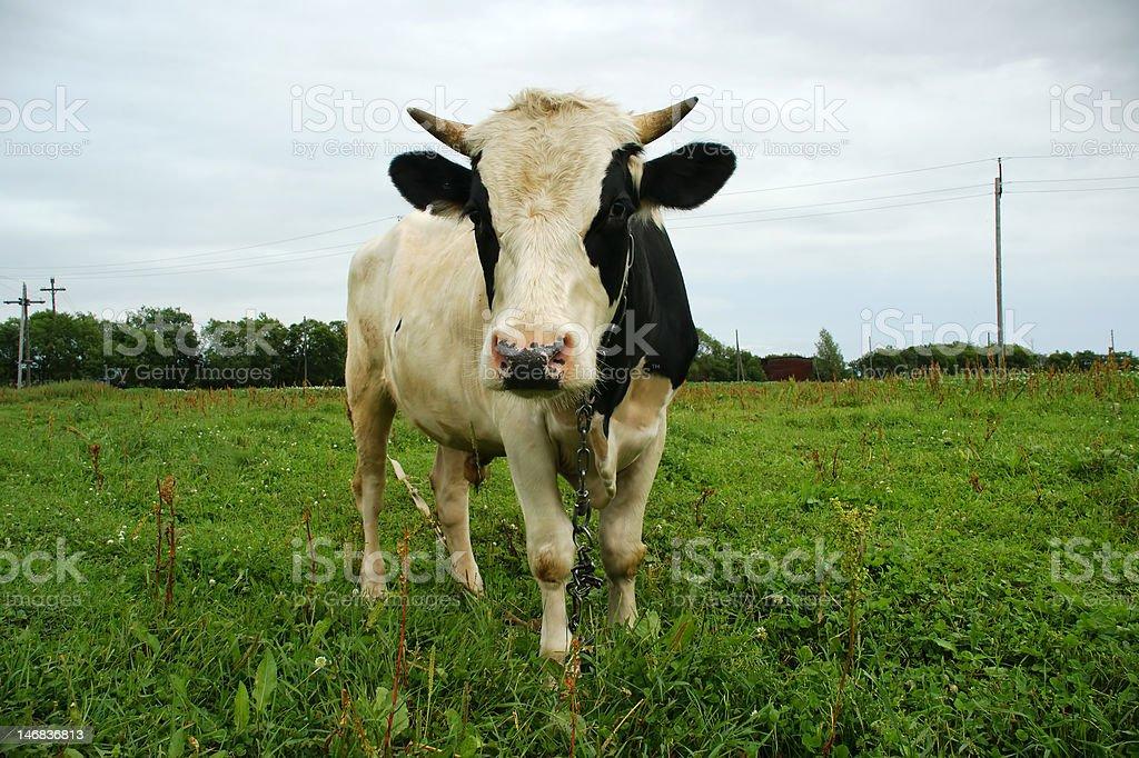 oxen royalty-free stock photo