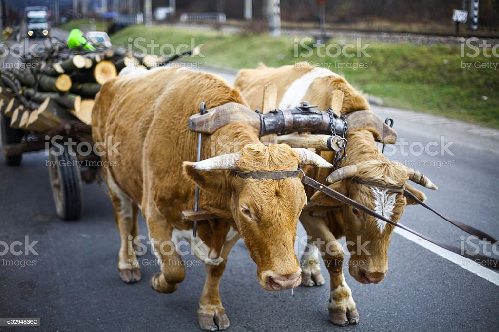 Oxen pulling a cart stock photo