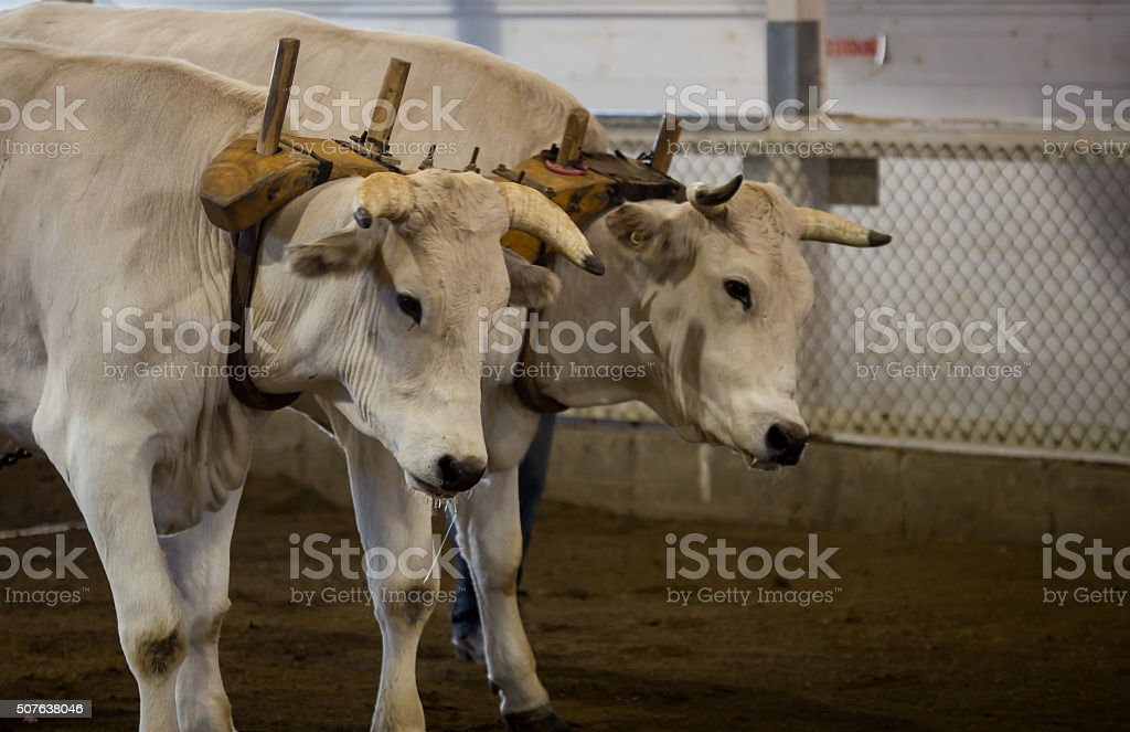 oxen pulling at a fair stock photo