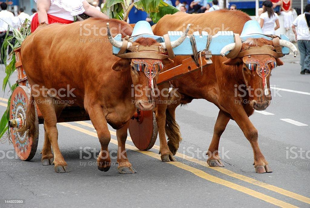 Oxen Pulling Carretta stock photo