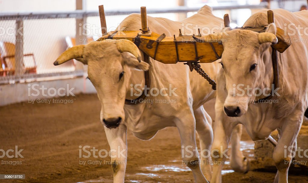 oxen pulling stock photo