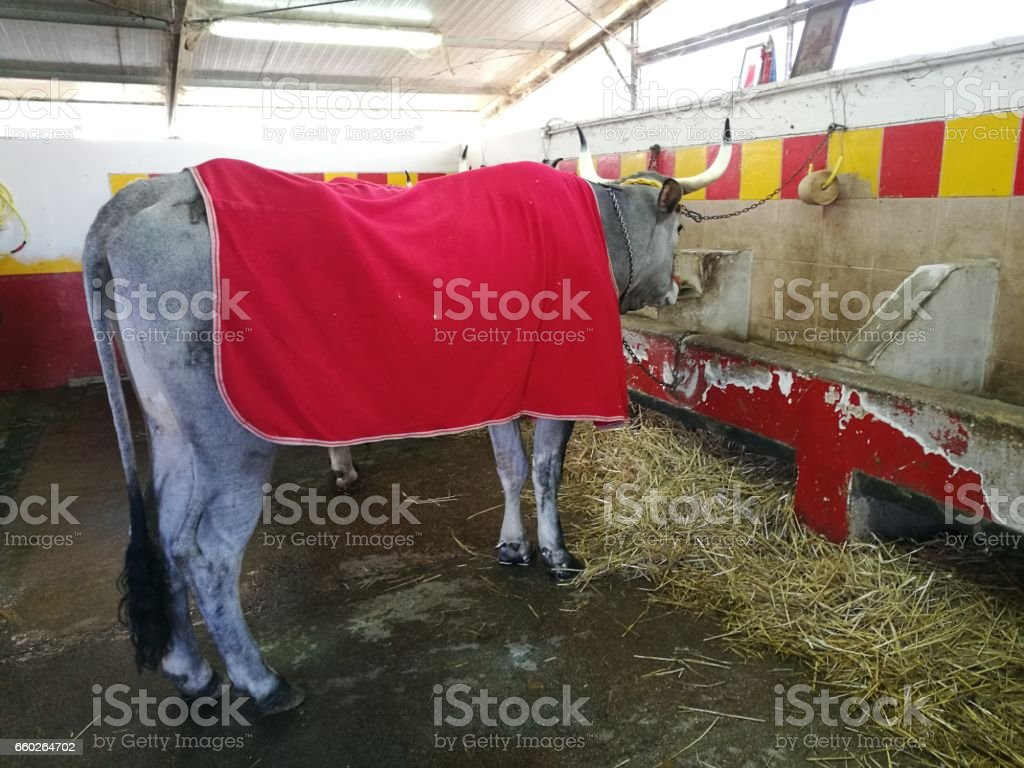 oxen used for the chariot race stock photo