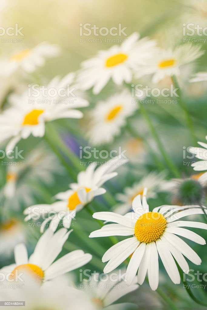 Oxeye daisies in a summer meadow stock photo