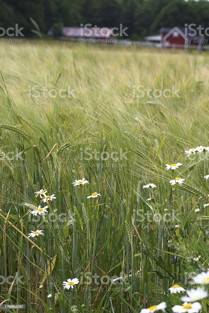 ox-eye daisies in wheat field stock photo