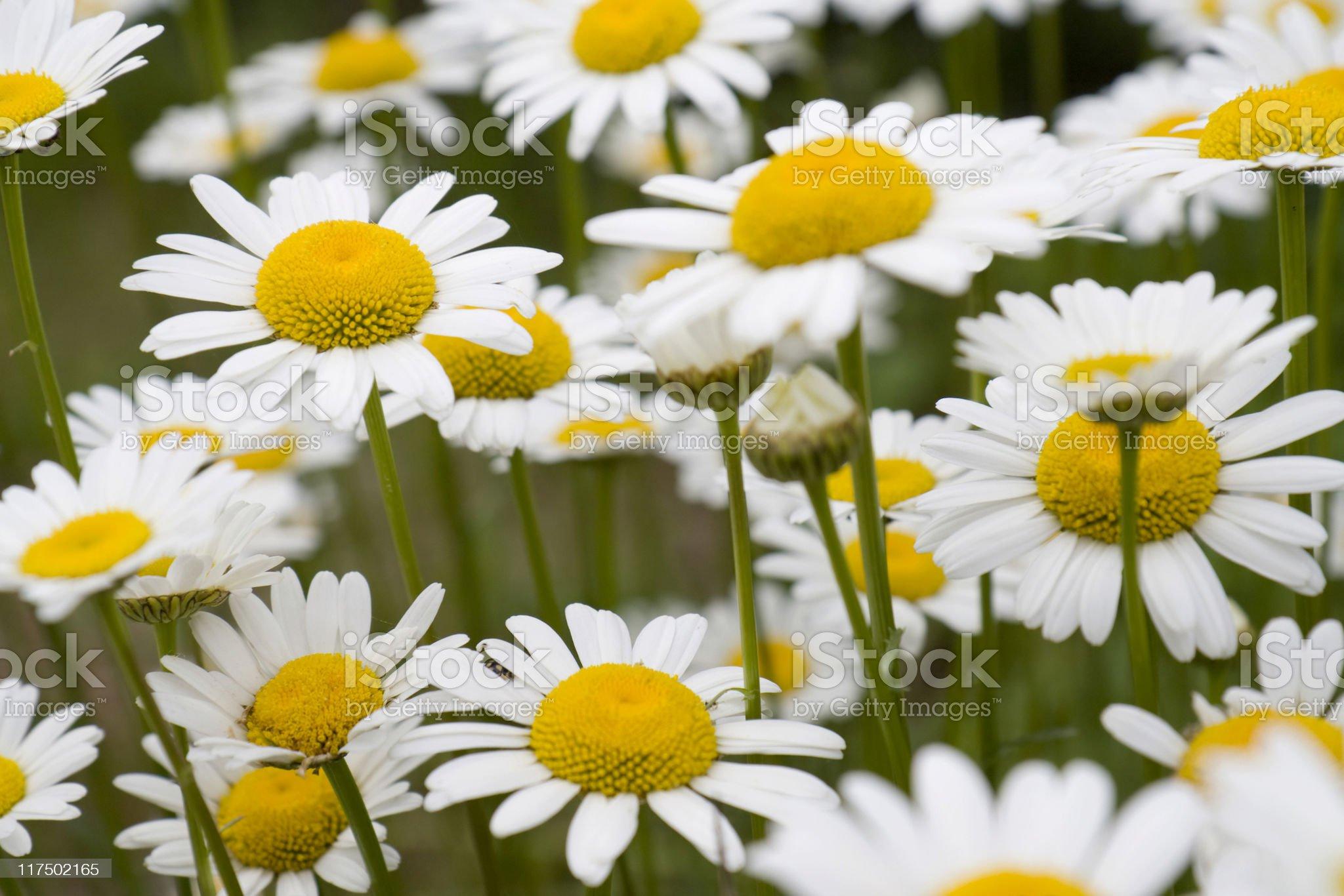 Oxeye daisies royalty-free stock photo