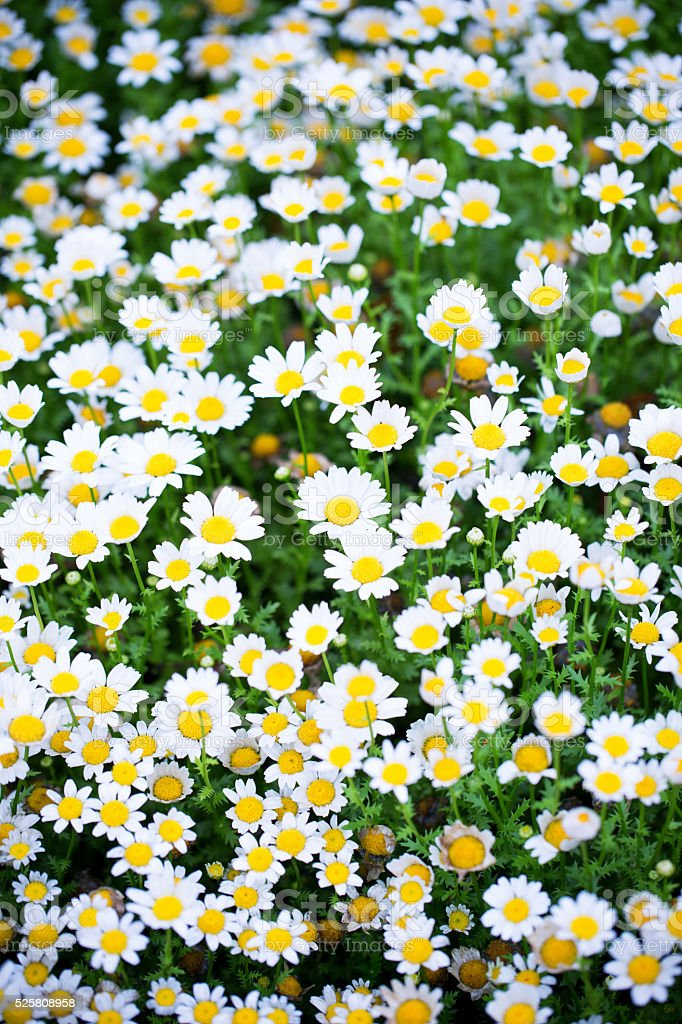 Oxeye daisy background in spring stock photo
