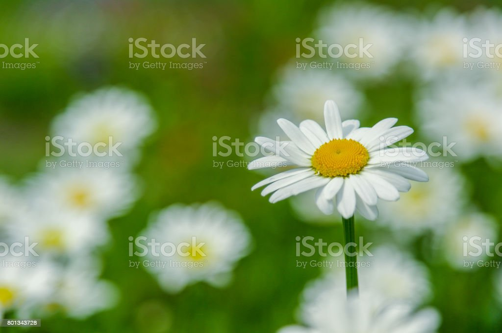 Oxeye Daisy in focus stock photo