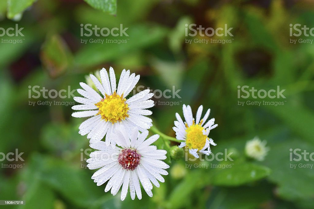 Oxeye Daisy, Leucanthemum vulgare, In Dew royalty-free stock photo