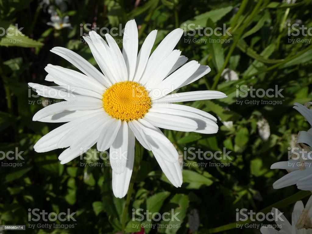 Oxeye Daisy - Leucanthemum vulgare stock photo
