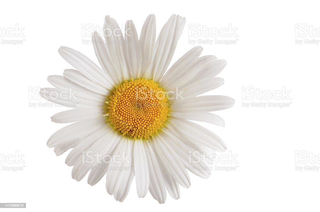 oxeye daisy marguerite stock photo