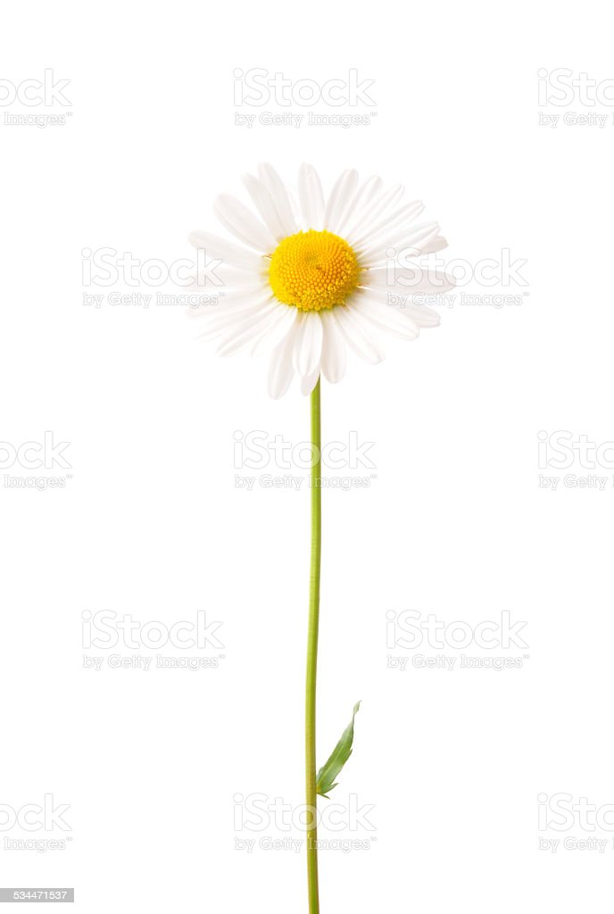 Ox-eye daisy (Leucanthemum vulgare) stock photo