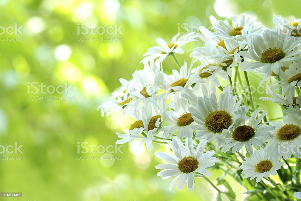 ox-eye daisy royalty-free stock photo