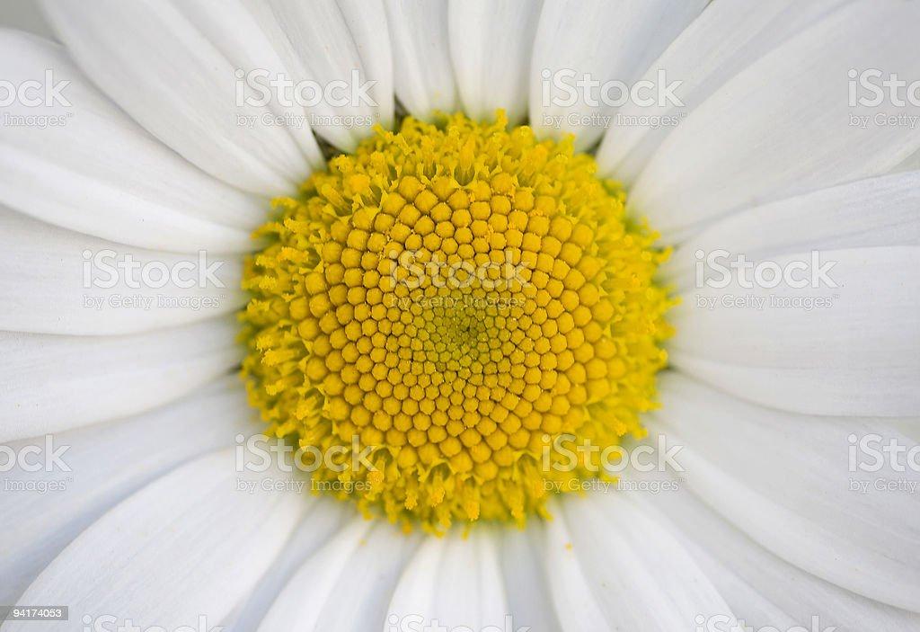 Oxeye daisy royalty-free stock photo