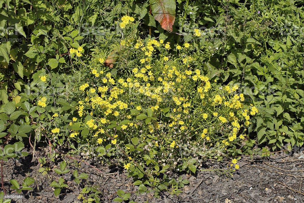 Oxford ragwort Senecio squalidus stock photo