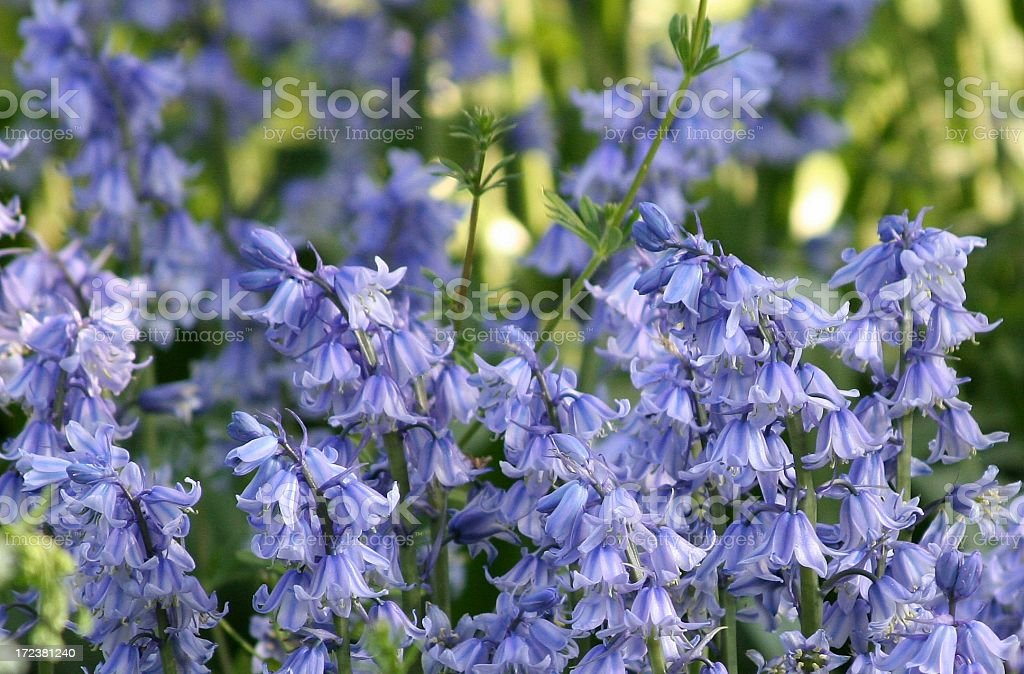 Oxfordshire Bluebells royalty-free stock photo