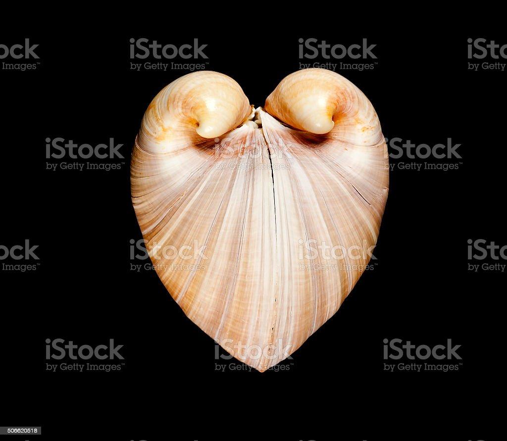 Oxheart Clam Glossus Humanus Seashell On Black stock photo