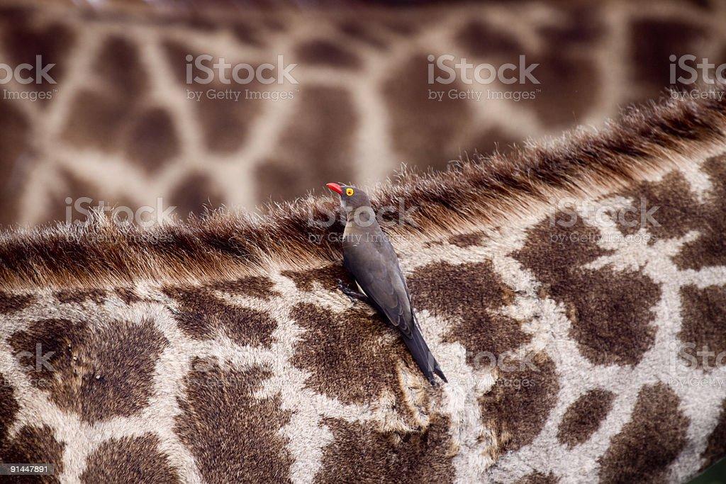 Oxpecker on giraffe in Kruger Park, South Africa stock photo