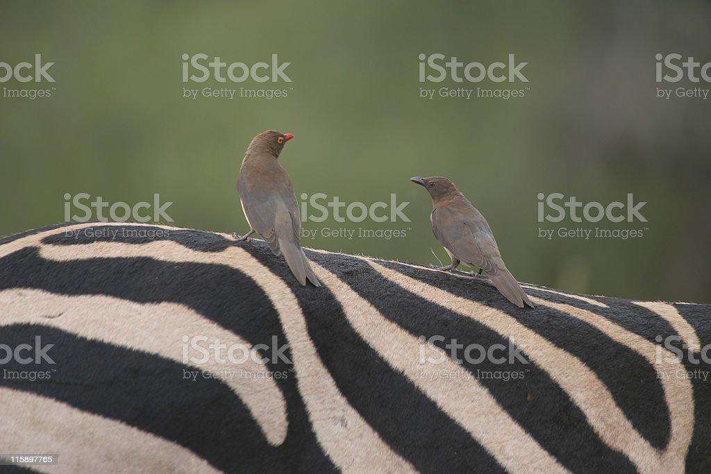 oxpeckers on zebra royalty-free stock photo
