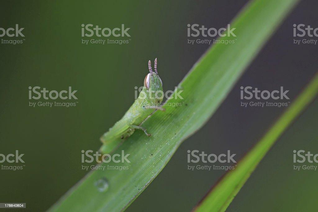 oxya larvae royalty-free stock photo