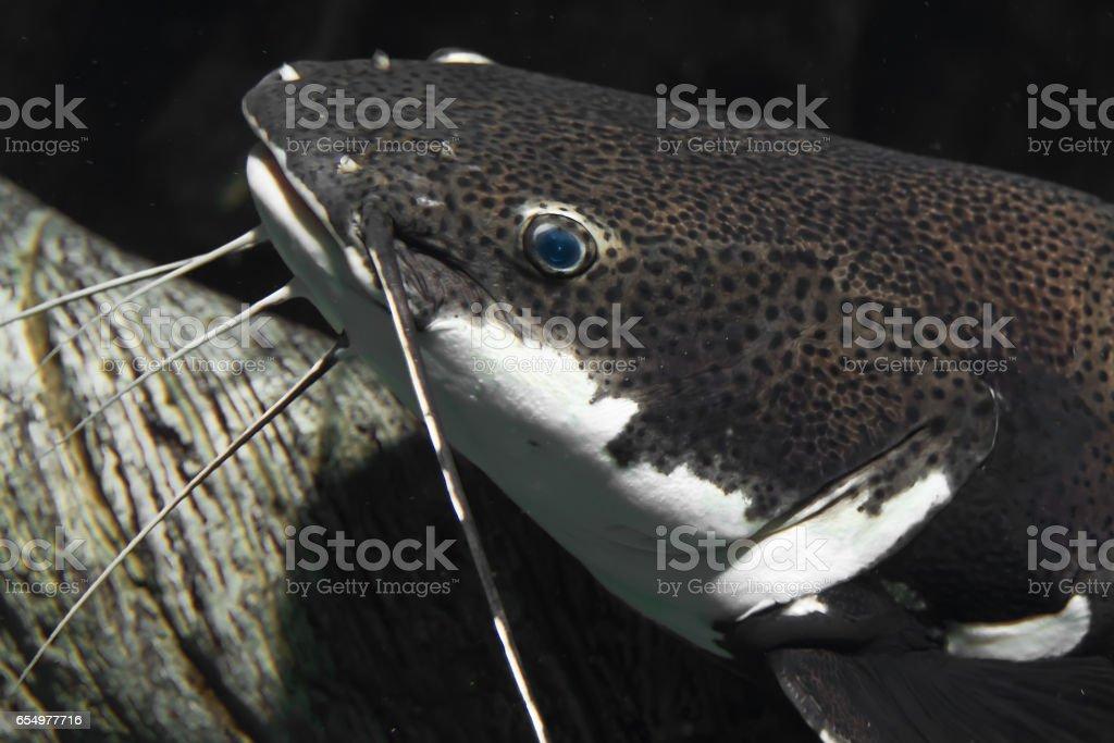 Oxydoras black or Blue-eyed catfish stock photo