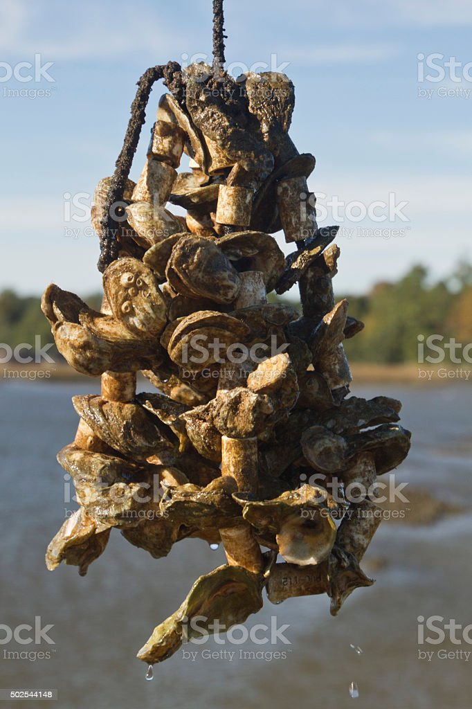 Oyster Aquaculture Growing On a Rope stock photo